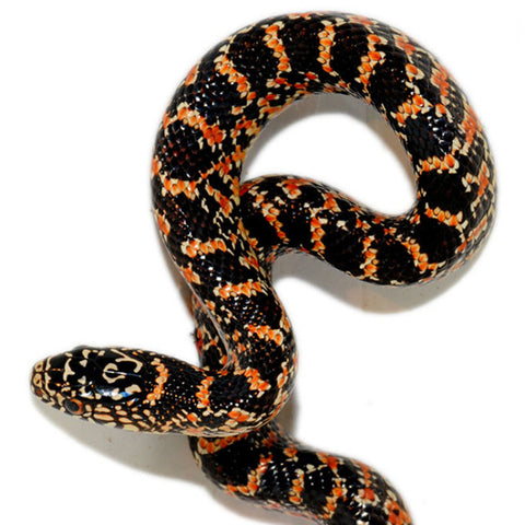 Florida Kingsnakes