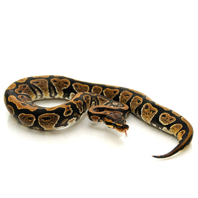 Ball Pythons (Normal Phase)