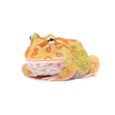 Albino Pacman Frogs