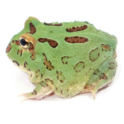 Green Pacman Frogs