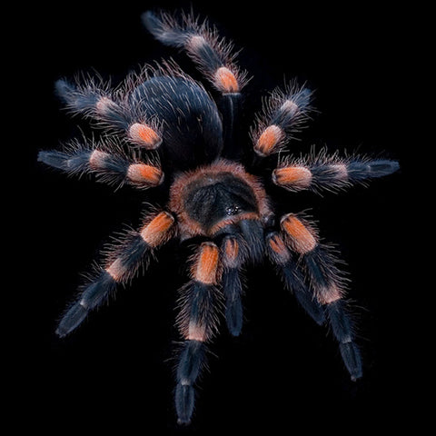 Mexican Red Knee Tarantulas