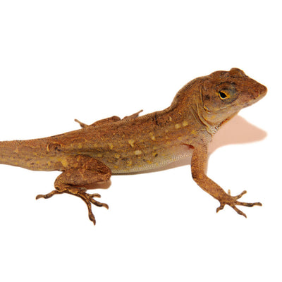 Brown Anoles (Group of 3)