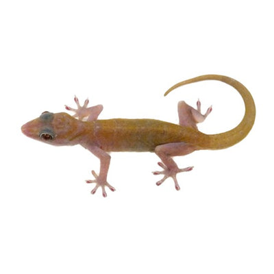 Golden Geckos (Group of 3)