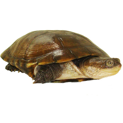 African Side Neck Turtles