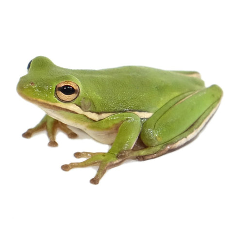 Green Tree Frogs (Group of 3)