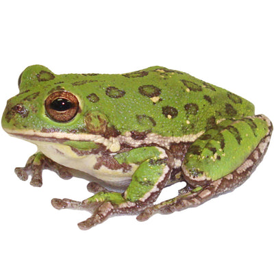 Barking Tree Frogs (Adults)