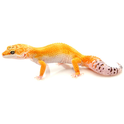 High Color Leopard Geckos