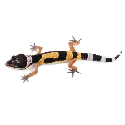 Normal Leopard Geckos