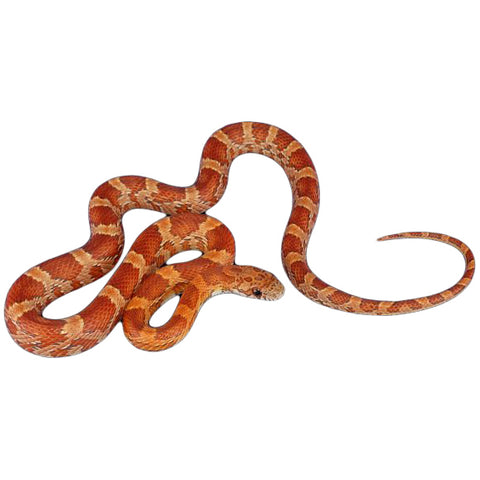 Sun Kissed Blood Corn Snakes