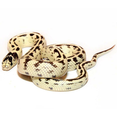 Banana California Kingsnakes