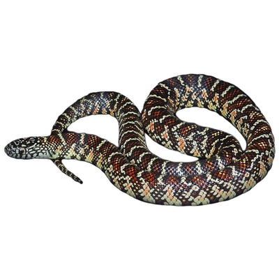 Brooksi Kingsnakes