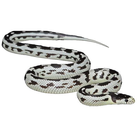 Hi-White California Kingsnakes