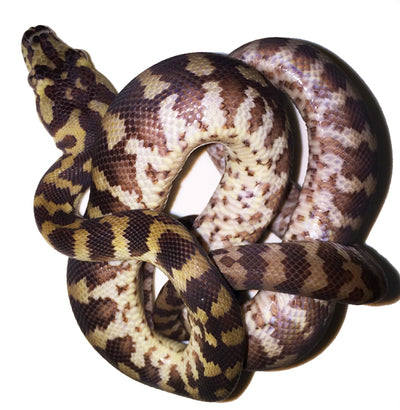Irian Jaya Carpet Pythons