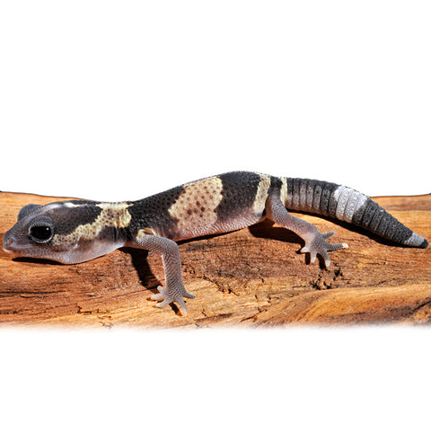 African Fat Tailed Geckos For Sale