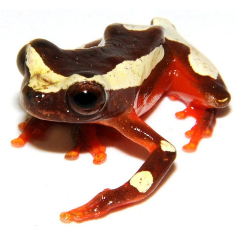 Clown Tree Frogs