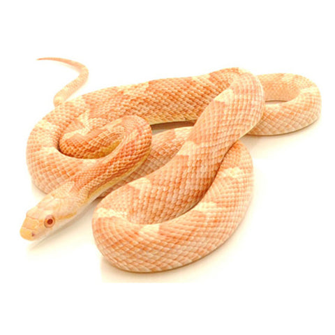 Albino White Sided Black Rat Snakes
