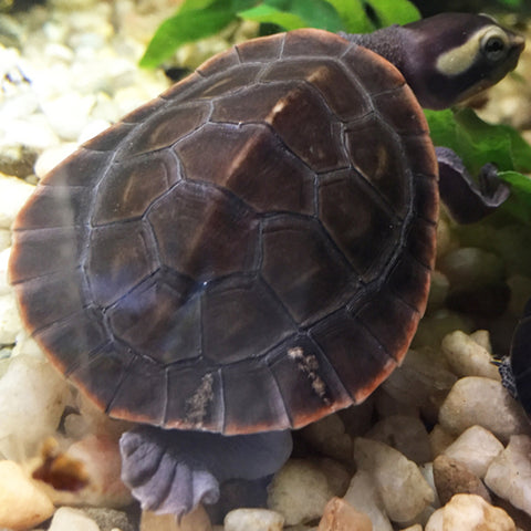Pink Belly Side Necked Turtles
