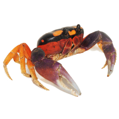 "Halloween Crabs (3-Pack) 1-2"" Each"