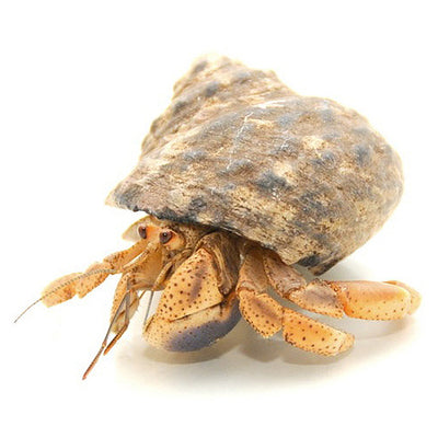 "Native Shell Hermit Crabs (5-Pack) 1-2"" Each"