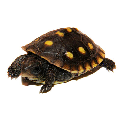 Hybrid Box Turtles