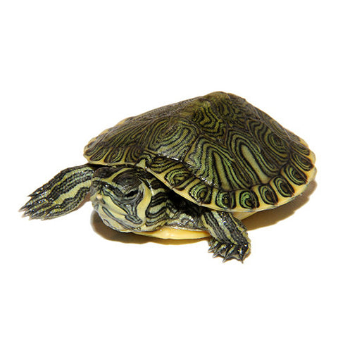 Yellowbelly Slider Turtles