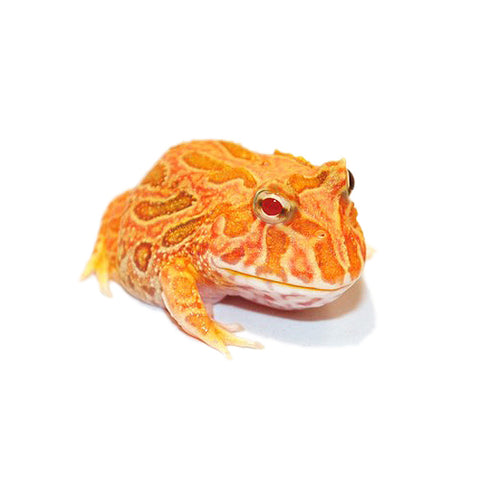 Apricot Pacman Frogs