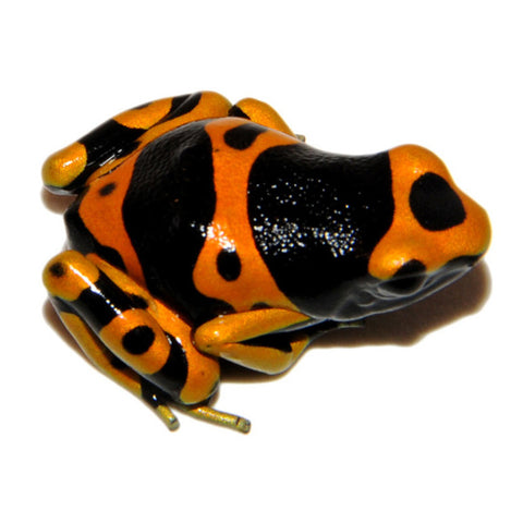 Bumble Bee Dart Frogs