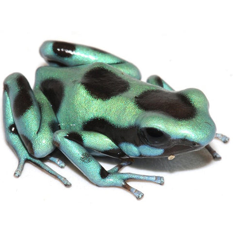 Green & Bronze Auratus Dart Frogs