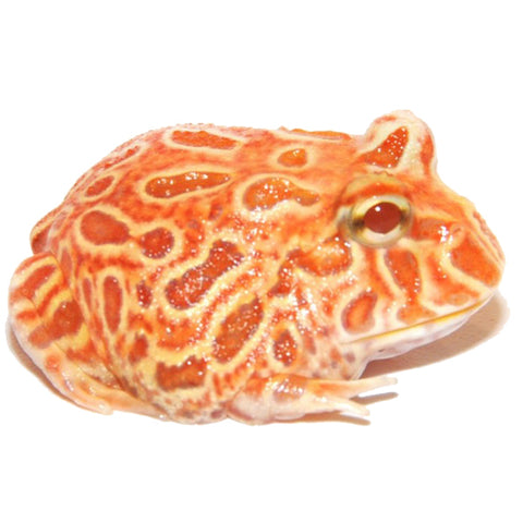 Strawberry Pacman Frogs Big Apple Pet Supply