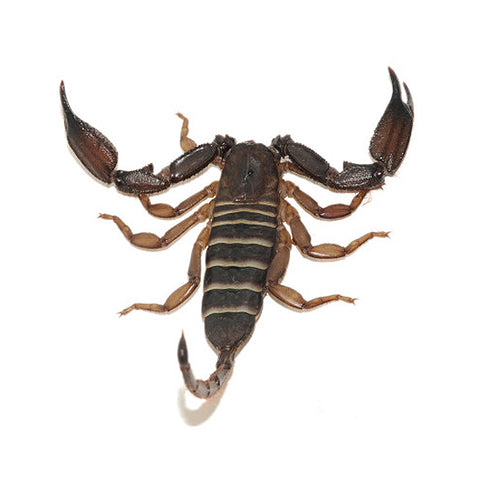 Olive Keeled Flat Rock Scorpion