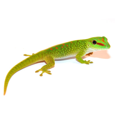 Madagascar Giant Day Geckos
