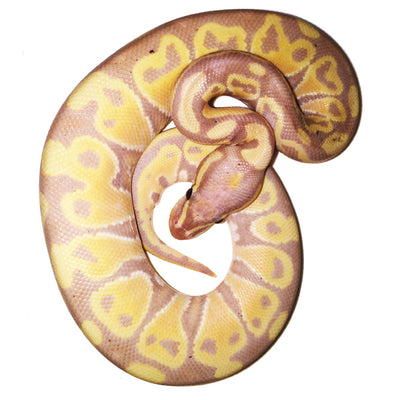Banana Ball Pythons