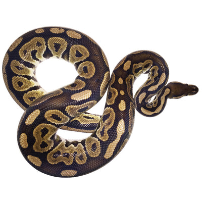 Cinnamon Ball Pythons