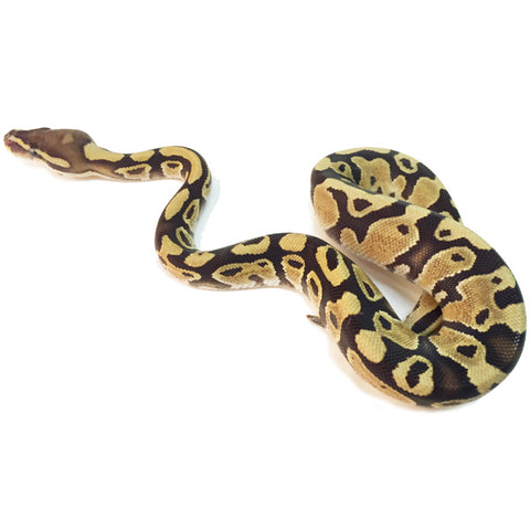 Fire Ball Pythons
