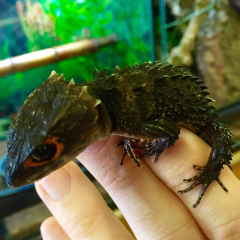 Red Eyed Crock Skinks