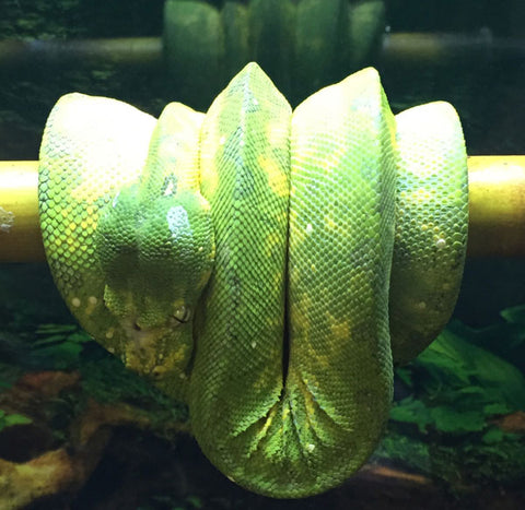 Biak Green Tree Pythons
