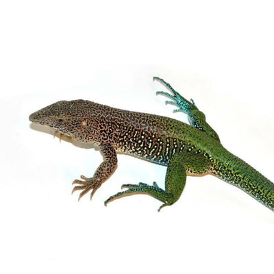 Green Ameiva Lizards