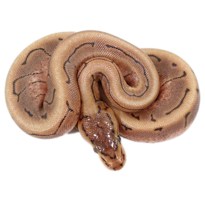 Spinner Ball Pythons