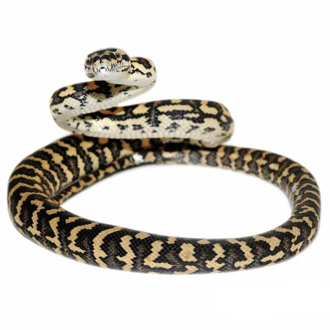 Jungle Carpet Pythons