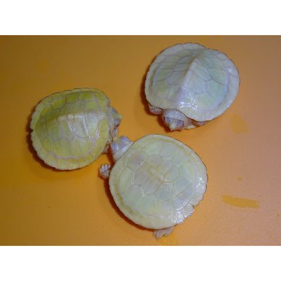 Albino Red Ear Slider Turtles (W/ Extra Scutes)