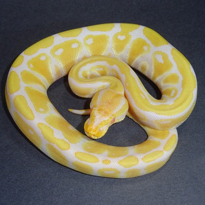 Albino Yellow Belly Ball Pythons