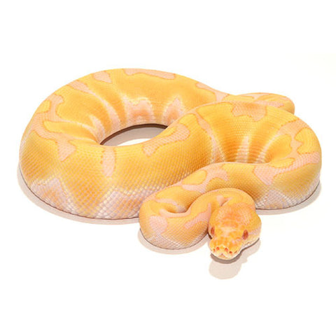 Albino Enchi Ball Pythons