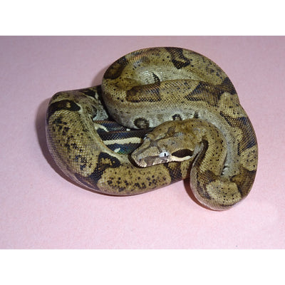 Anerythristic Jungle Boas