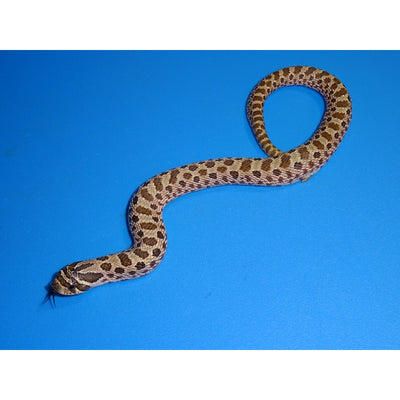 Artic Western Hognose Snakes