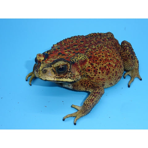 Asian Spiny Toads