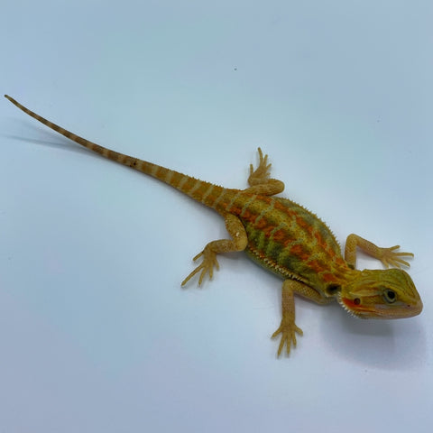 Citrus Trans Red Stripe Bearded Dragon (Stock BDB31)