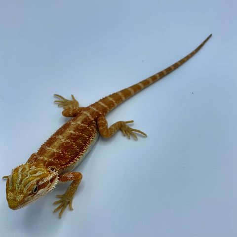Trans Super Red Bearded Dragon (Stock BDB32)