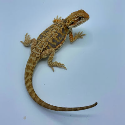 Purple Tiger Citrus Leatherback Bearded Dragon (Stock BDB33)