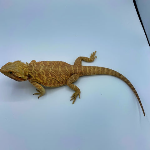"Citrus Leatherback Bearded Dragon ""Breeder"" (Stock BDB8)"