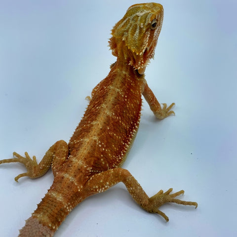 Super Red Translucent Bearded Dragon (Stock BDF2)